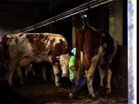 Krave iz mesta / City Cows