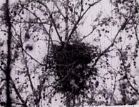 Krokar (Gavran)